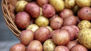 Rod krompira u Srbiji manji od 50 do 70 odsto