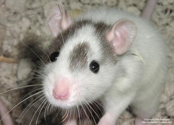 rat-sniffing-600.jpg