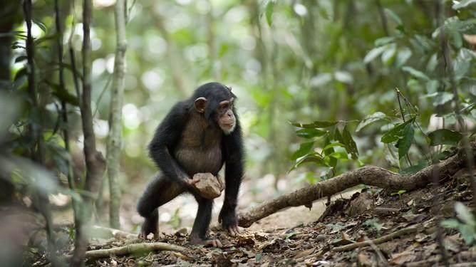 Шимпанзе Оскар з каменем
