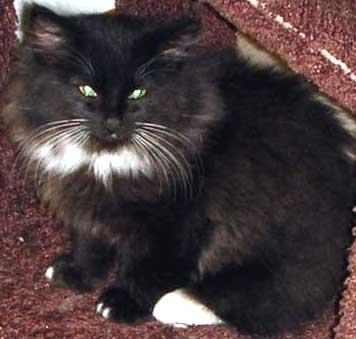 Twinkletoes cat