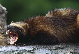 snarling weasel