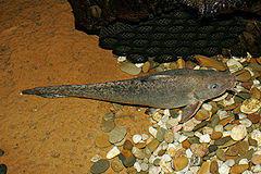 eel-tail catfish
