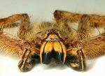 bowie spider