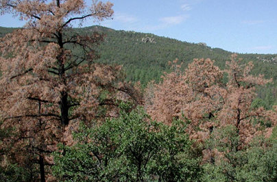 Trees killed by Pine Beetles