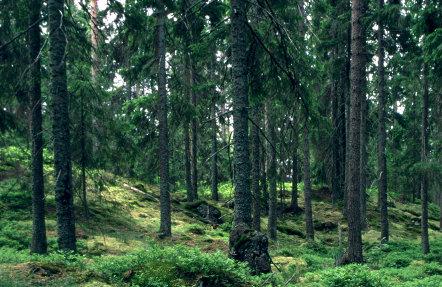 Swedish_Pine_Forest