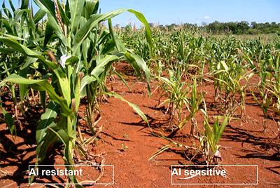 resistant-corn