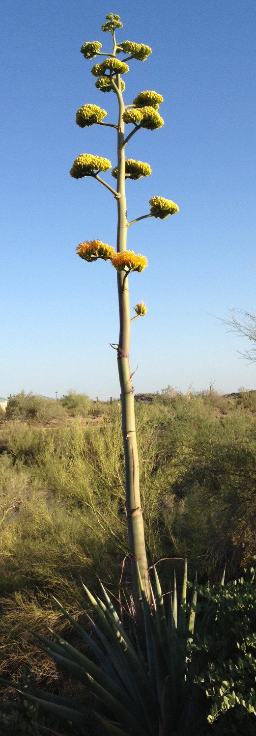 century-plant-full-bloom-2