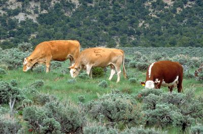 Cattle grazing on BLM land