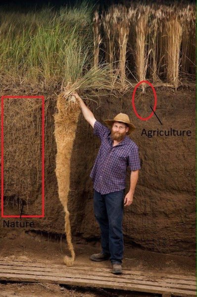 Kernza roots vs mass agriculture wheat roots
