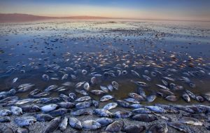Salton Sea dead fish