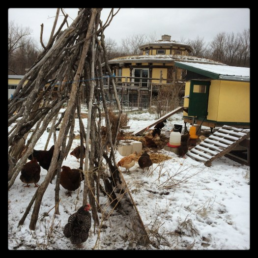 Chickens and their mobile coop during early winter