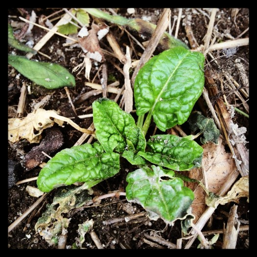 Overwintered spinach in cold frame wiarton vegetables