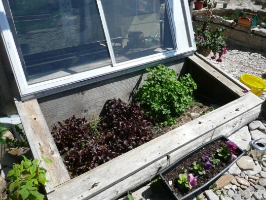 Lettuce and parsley overwintered in the cold frame
