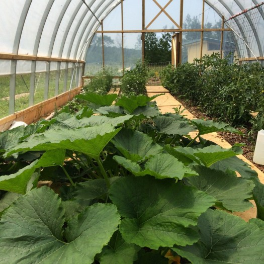 Zucchini and tomatoes grow in a hoop house