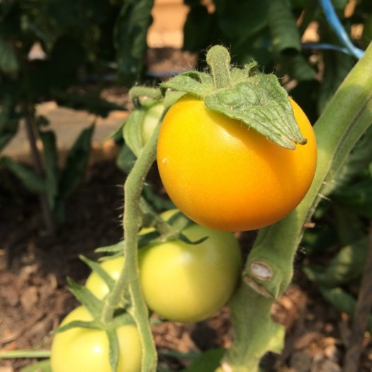 """Jaune flamme"" tomato ripens from yellow to orange"