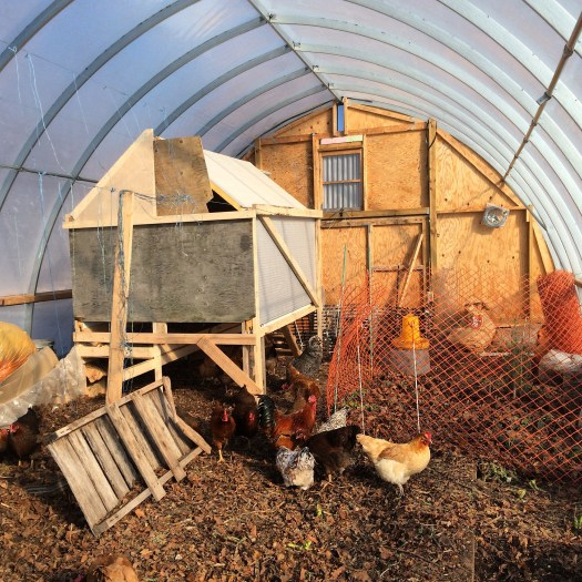hoop house chickens in the winter on deep litter