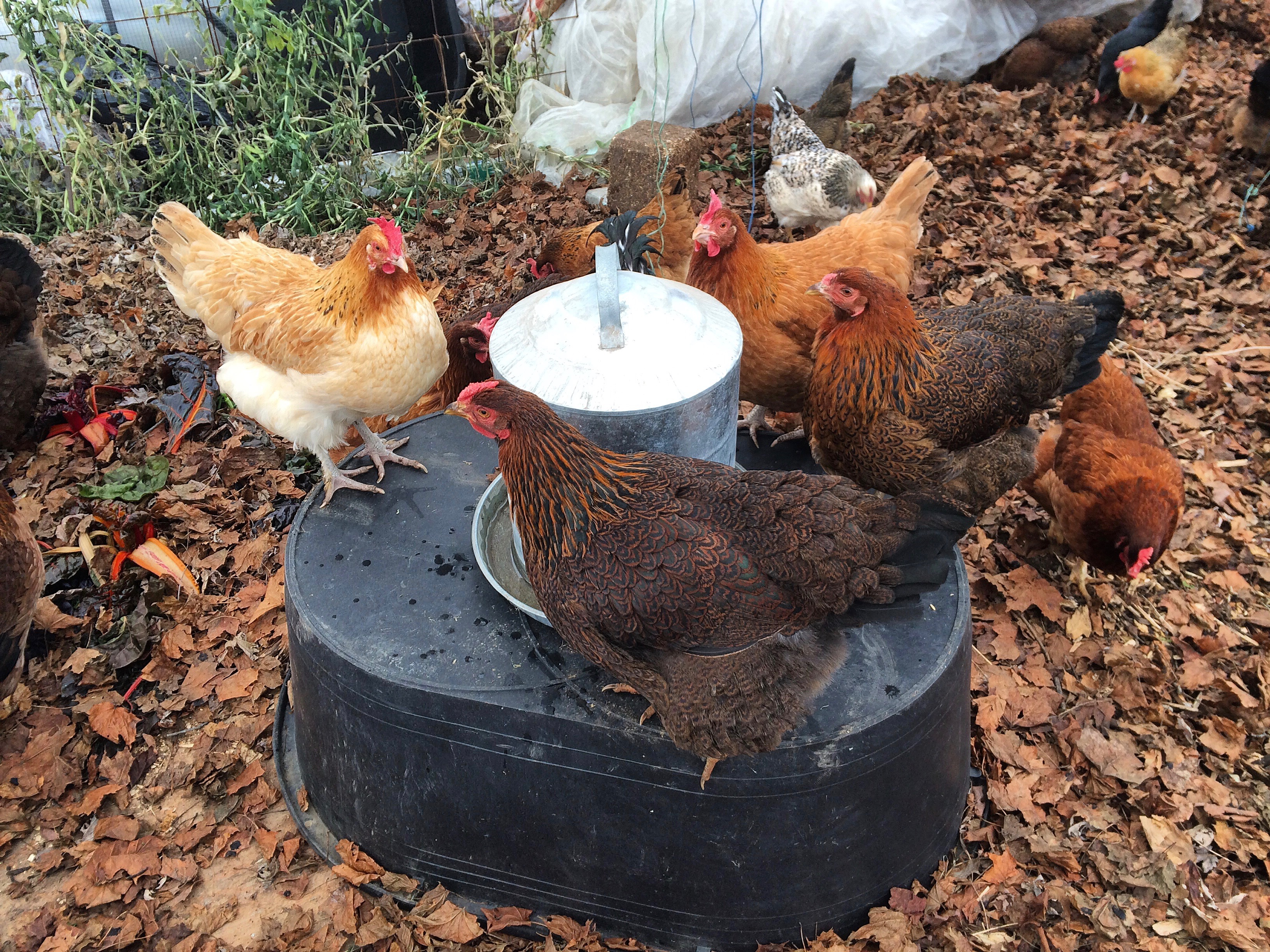 Chickens in hoop house drink from a waterer