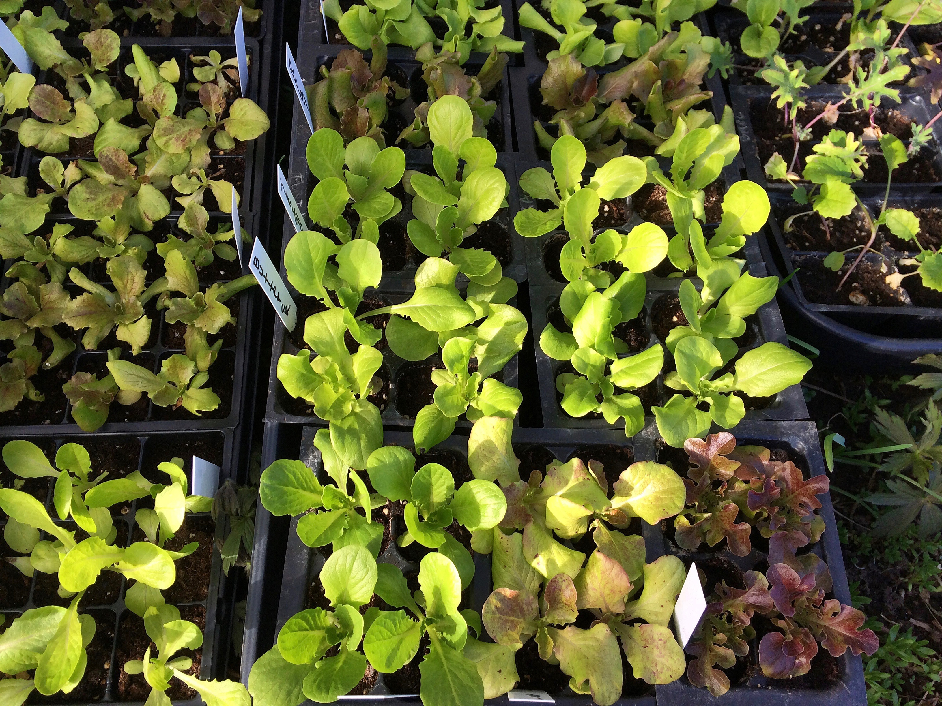 lettuce seedlings outside