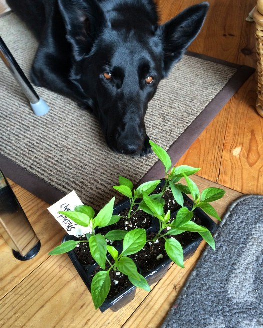 pepper seedlings and dog