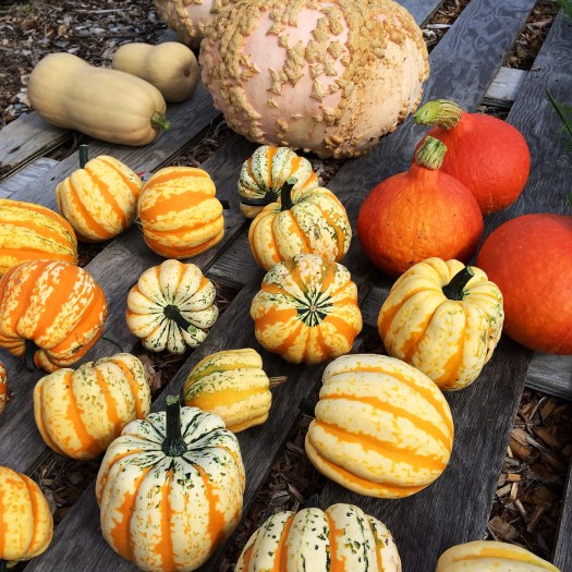 A lovely selection of winter squash varieties we grew in the mulch garden this year.