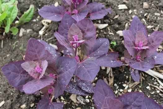 Self-seeded purple orach seedlings