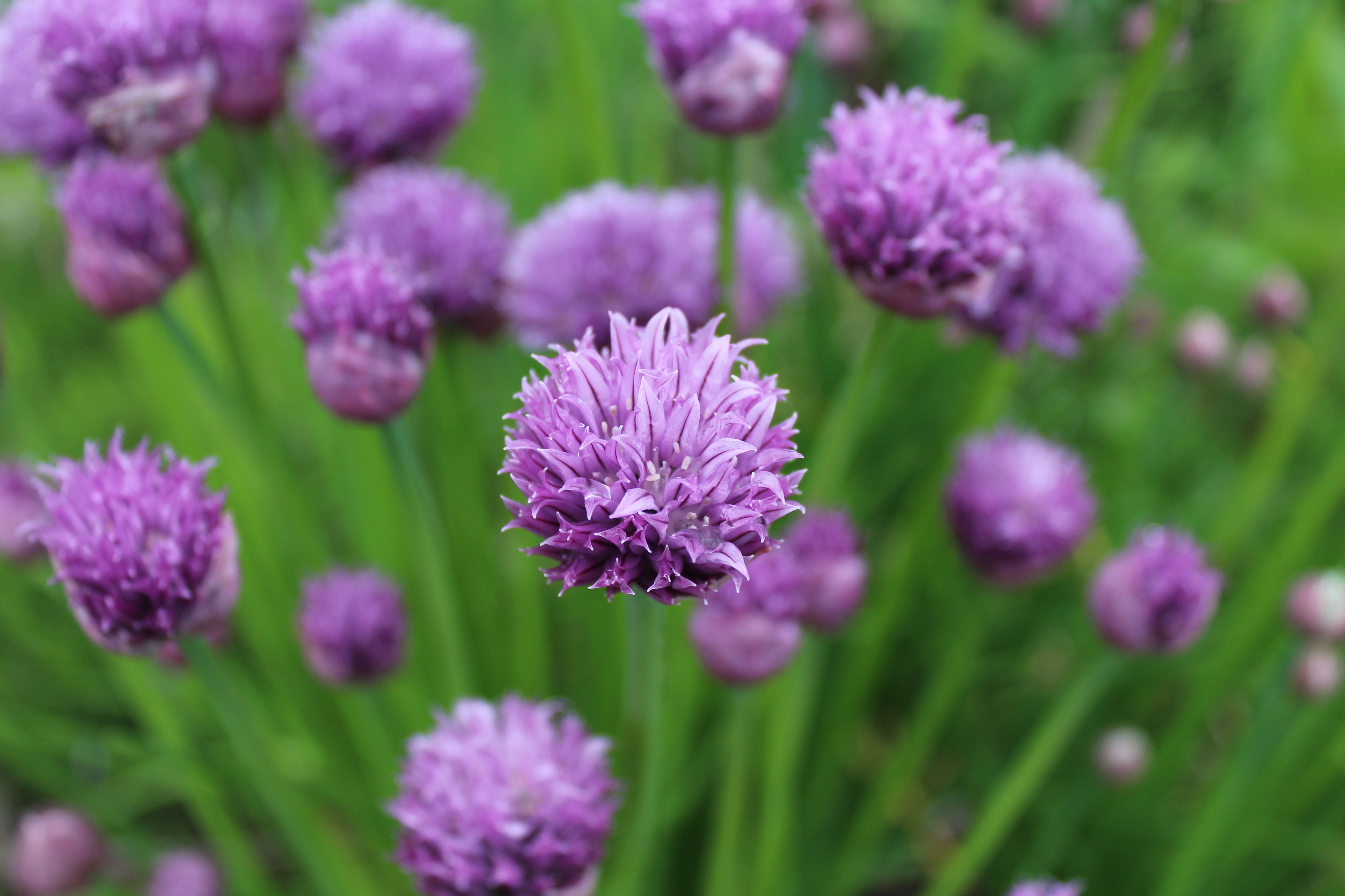 Beautiful chive blossoms