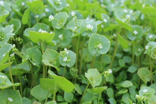 claytonia fresh produce wiarton