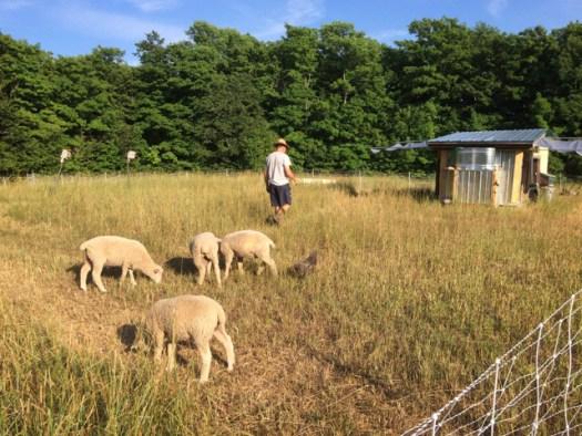 Birds Nest Garden Farm lambs pasture mobile shed