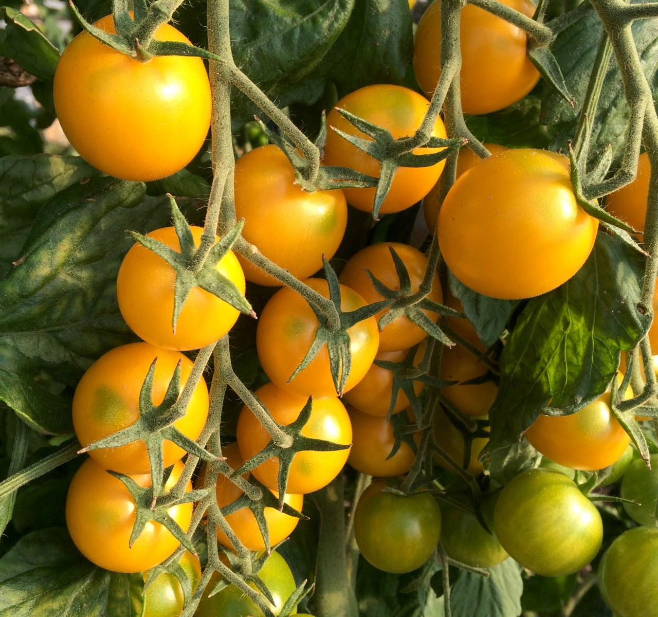Yellow cherry tomatoes fresh produce Wiarton