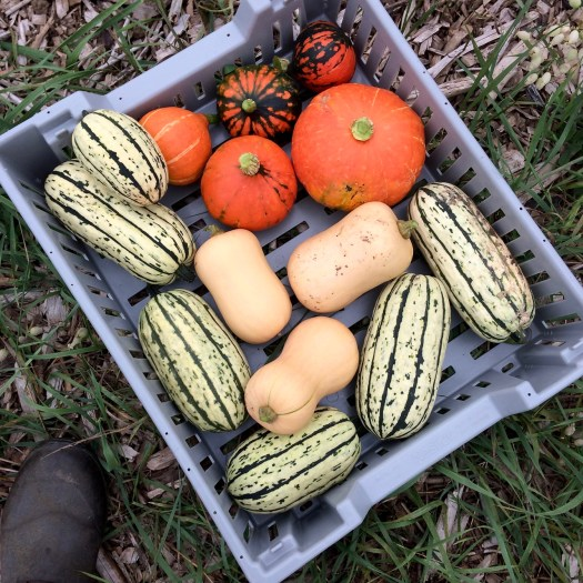 a variety of winter squash at Polka Dot Hen Produce