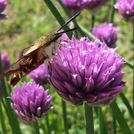 hummingbird moth on chive flower birds nest garden farm
