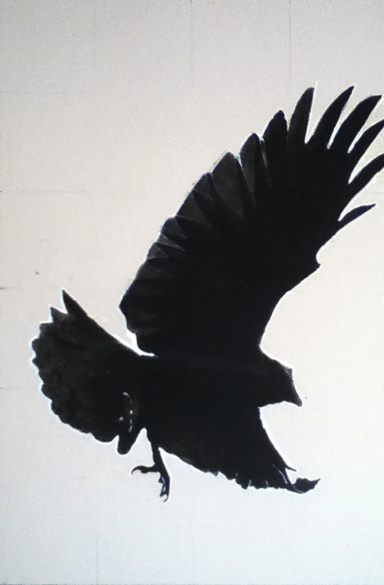 Crow Study, India ink and Conté. 12 x 18 inches