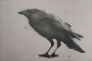 July crow. 12 x 18 inches, graphite on toned paper with chalk highlights