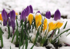 flowers_crocuses-01
