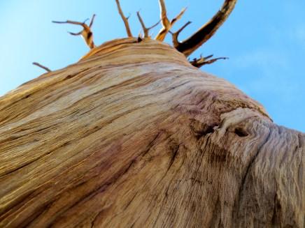 Lone pine. Sierra Nevada, California.