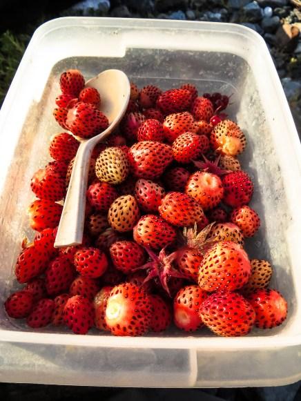 Wild strawberry harvest. Glacier Bay National Park and Preserve, Alaska.