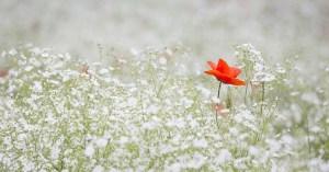 花畑の真ん中に赤い花