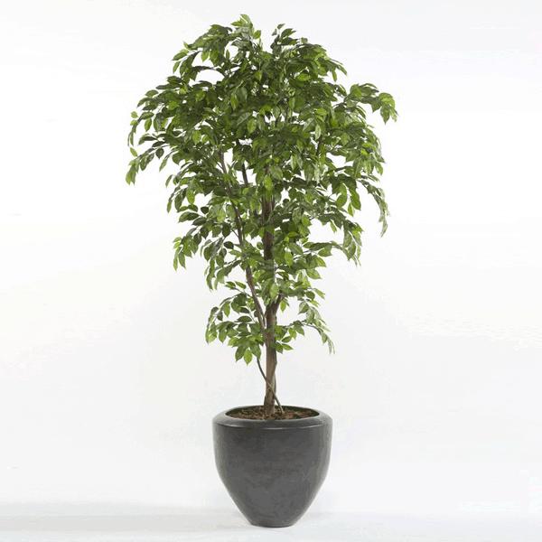 Árbol Ficus Premium