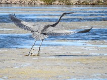Great Blue Heron fishing at Parker River Wildlife Refuge