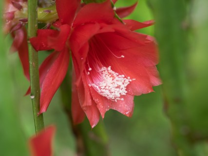 Epiphyllum is a genus of 19 species of epiphytic plants in the cactus family, native to Central America. Common names for these species include climbing cacti, orchid cacti and leaf cacti, though the latter also refers to the genus Pereskia - Wikipedia
