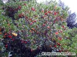 Плоды земляничника мелкоплодного. Автор фото Лиловая Л.