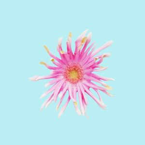 Barberton Daisy Gerbera Jamesonii 2