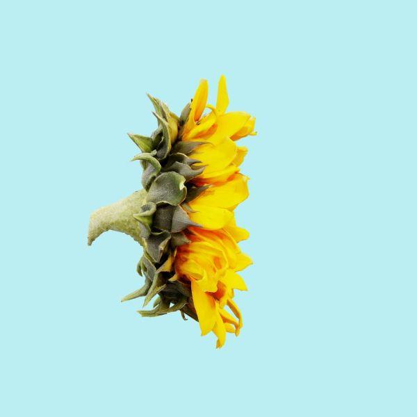 Sunflower Brown