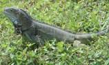 Aruban Iguana