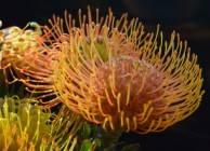 https://polymathically.wordpress.com/2014/12/19/weekly-photo-challenge-yellow-or-protea-pincushion/