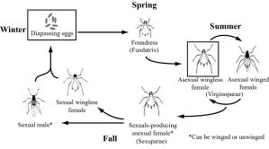 aphid life cycle | fascinating bugs