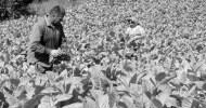 November 27, 2010 Kirkovo bölgesinde 1000'den fazla tütün üreticisi hükümetin tütün politikasını protesto etti. Yağan sağanak yağmura rağmen protestocular köy meydanını doldurdular ve pankart açıp slogan attılar. Hükümetten 2011 yılı […]
