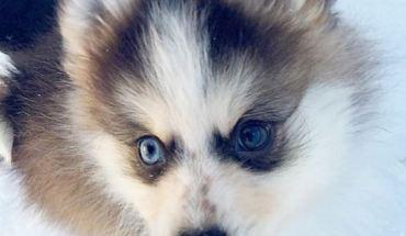 Pomsky with blue eyes