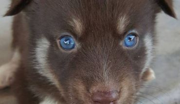 Brown Pomsky