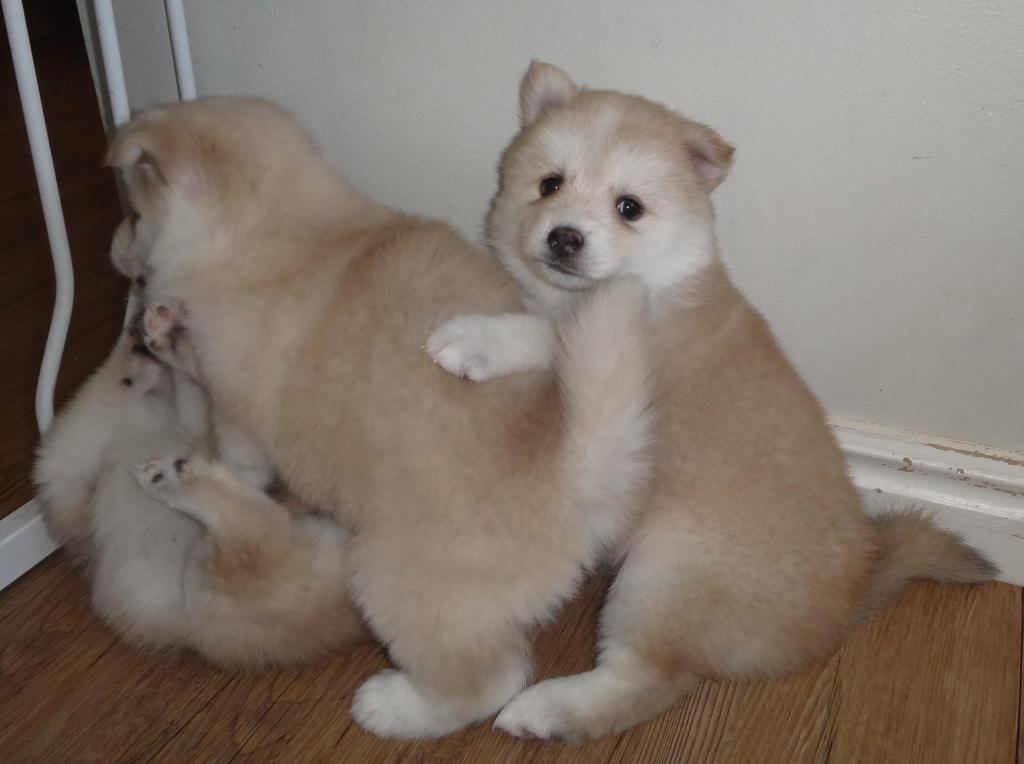 Pomsky puppies playing